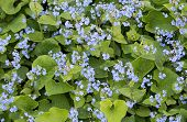 picture of may-flower  - Blue forget - JPG