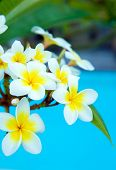 picture of frangipani  - Frangipani flowers on a tree in the garden - JPG