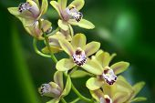 stock photo of yellow orchid  - Yellow orchid over dark green background in spring garden - JPG
