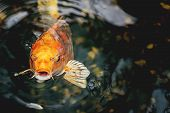image of koi fish  - Macro view of orange koi fish in a pond - JPG