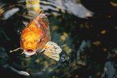 picture of koi fish  - Macro view of orange koi fish in a pond - JPG