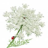 picture of crawling  - Hand drawn vector illustration of a Ladybug crawling on the stem of a wild carrot flower or Queen Anne - JPG