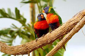 stock photo of lorikeets  - two Rainbow Lorikeet the preen each other - JPG