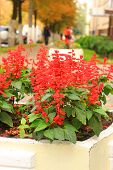 stock photo of clary  - Flowers of red clary on a flowerbed - JPG