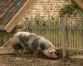 grubbing Schwein