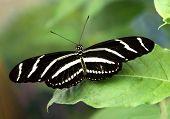 Zebra Wing Butterfly