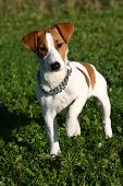 stock photo of jack russell terrier  - puppy purebred jack russel terrier attentive in a field - JPG