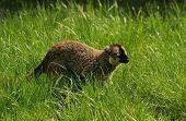Monkey Brown Lemur