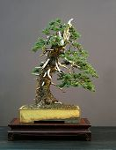 European Spruce Bonsai