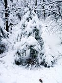 The Snowbound Fir-Tree