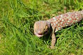 foto of tokay gecko  - Grey and orange tokay gecko on the green grass - JPG