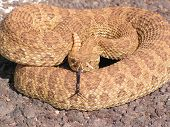 stock photo of western diamondback rattlesnake  - a coiled western diamondback rattlesnake ready to strike - JPG