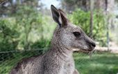Close Up Of A Kangaroo