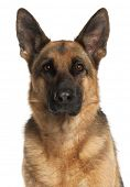 stock photo of shepherd dog  - Close - JPG