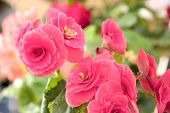 Tender Fresh Pink Begonia  Terry Flowers And Petals  Bush In A Tub On A Light Wooden Table Top poster