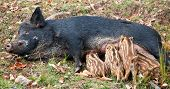 stock photo of bestiality  - A wild pig is feeding her piglets - JPG