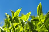 stock photo of cameron highland  - Tea Leaves - JPG