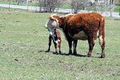 stock photo of hereford  - Hereford cow with a calf close to her neck - JPG
