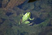Frog in the algae