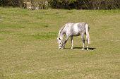 Gray Dapple Horse .