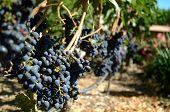 Cabernet Sauvignon Grapes On The Vine.  California.