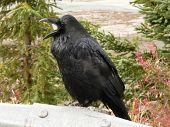 Noisy Raven