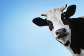 stock photo of funny animals  - Funny smiling black and white cow on blue clear background - JPG