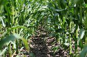 Inside A Corn Field