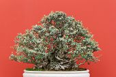 image of centenarian  - vary old olive bonsai tree over red background - JPG