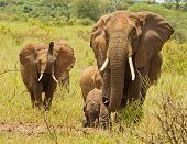 Elephant Herd With Trumpeting Juvenile