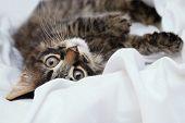 The Little Kitten Is Lying On A White Blanket. Feline Look. Close-up. poster