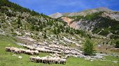 A Flock Of Sheep Located Along Cristillan Valley Above Ceillac Village, Queyras Regional Natural Par poster