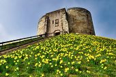 Cliffords Tower With Spring Daffodils