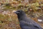 Raven, Corvus corax, on the ground. Close-up.