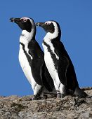 stock photo of jackass  - Two African or Jackass penguins in South Africa - JPG