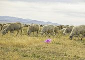 ..a Herd Of Sheep Graze On The Meadow In The Open Air. Garbage On Pasture For Animals. Sheep Eat Gra poster