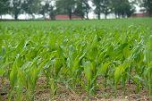 Corn The Future Fuel
