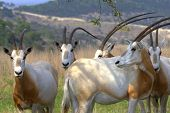 Scimitar Oryx Gathering