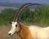 Scimitar Oryx Showing Horns