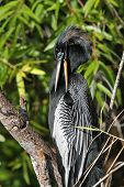 Male American Anhinga Preening its Feathers- Everglades National Park