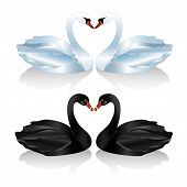 Set Of White And Black Swans