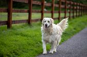 A Purebred White Golden Retriever Dog Walking On A Rural Road Near A Wooden Fence poster