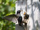 Starling alimentan a sus pichones