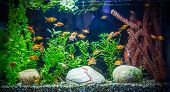 pic of neon green  - A green beautiful planted tropical freshwater aquarium with fishes - JPG