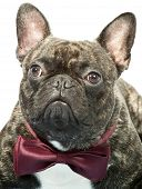 Portrait of french bulldog with bow tie isolated on white