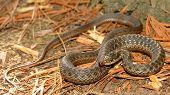 foto of garden snake  - Closeup of garden snake on pine needles - JPG