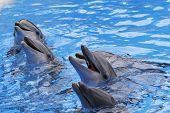 Un grupo de delfines mulares, Tursiops truncatus,