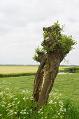 Typical Dutch pollard willow in agricultural landscape