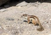 Eastern Chipmunk at Fuerteventura