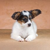 stock photo of epagneul  - Puppy of breed papillon on a beige background - JPG